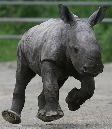 AP Ireland Rhino